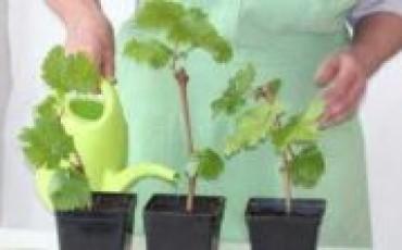 Как вырастить саженцы винограда из черенков, сохранить их до весны и правильно посадить