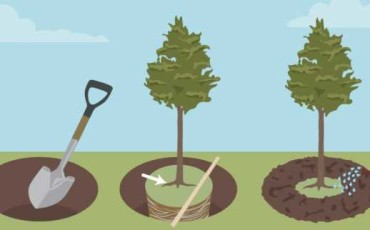 Посадка и пересадка крупномеров: как правильно организовать процесс, чтобы не навредить деревьям?