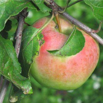 Яблоня «Богатырский Синап»