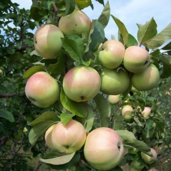 Яблоня «Богатырский Синап»-2