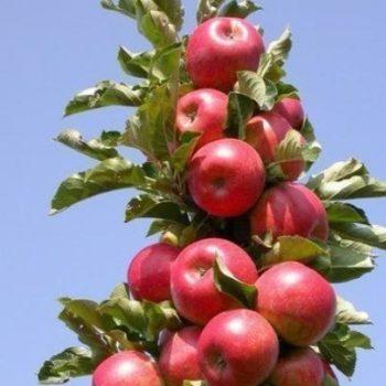 Яблоня колоновидная «Стрела»-2