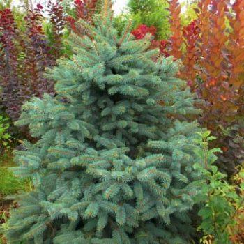 Ель обыкновенная Picea abies-2