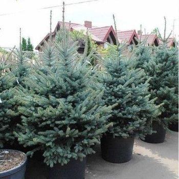 Ель обыкновенная Picea abies-1