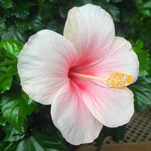 Гибискус Бледно-розовый