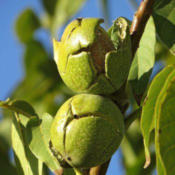 Грецкий орех Аркад-1