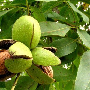 Грецкий орех Аврора-2
