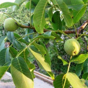 Грецкий орех Бахчисарайский-1