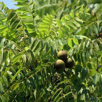Грецкий орех Черный-2