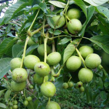 Грецкий орех Карлик-2