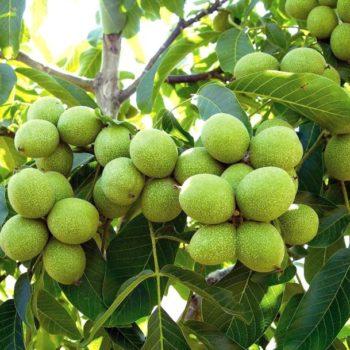 Грецкий орех Урожайный-1