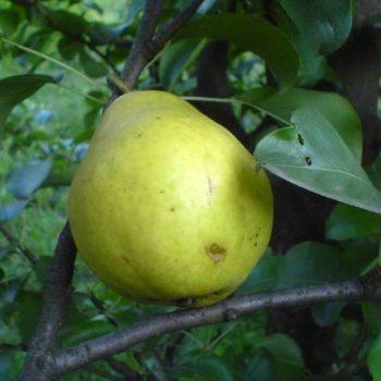Груша домашняя Лимонка-2