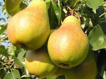 Груша Осенняя сладкая-1