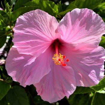 Гибискус Розовый-1