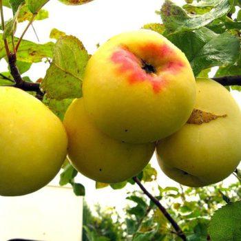 Яблоня Антоновка золотая-2