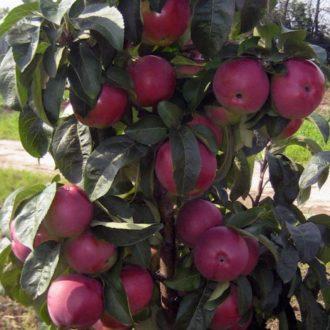 Яблоня колоновидная «Червонец»