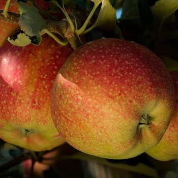 Яблоня «Джонаголд»-1
