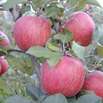 Яблоня Фуджи-1