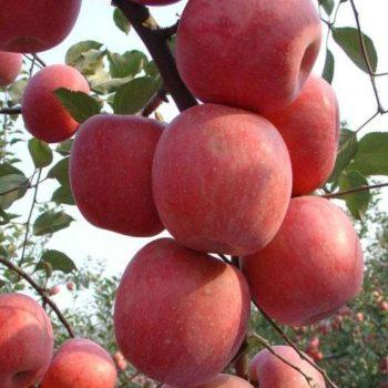 Яблоня Фуджи-2