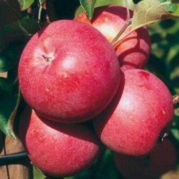 Яблоня «Элиза»-1