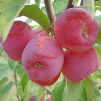 Яблоня Китайка красная-1
