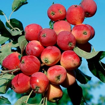 Яблоня Китайка красная-2