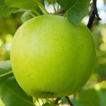Яблоня Мутсу-1