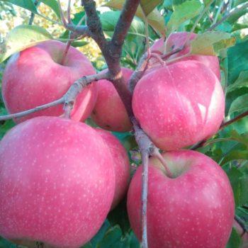 Яблоня «Пинк Леди»-2
