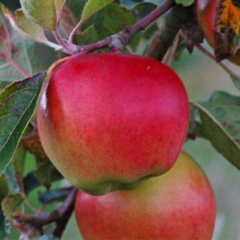 Яблоня «Прима»-1