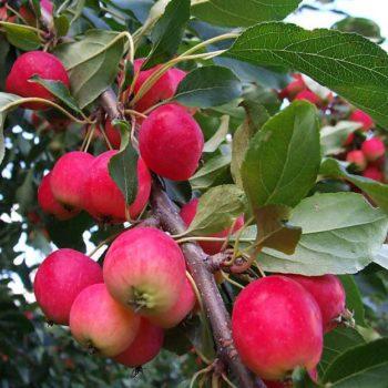 Яблоня «Ранетка»-1