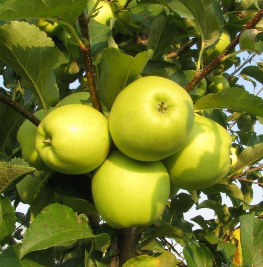 ренет татарский яблоня фото бесплатное объявление продаже