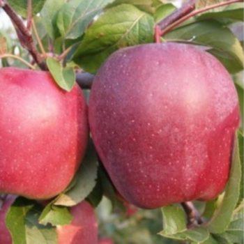 Яблоня «Рихард»-1