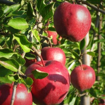 Яблоня «Рихард»-2