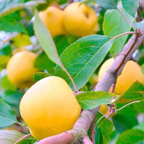 Яблоня «Зимний банан»