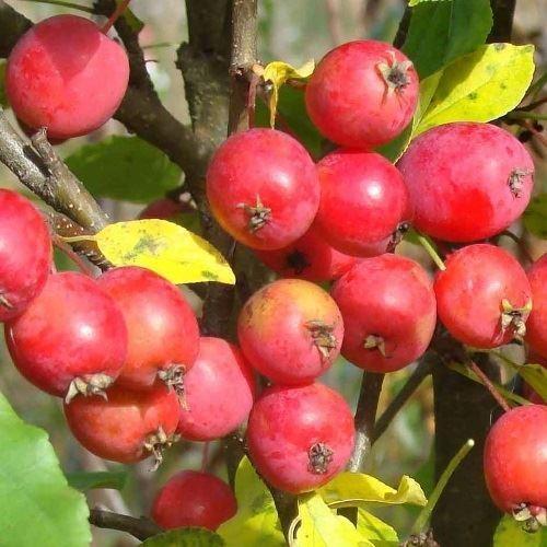 Яблоня колоновидная «Китайка красная»