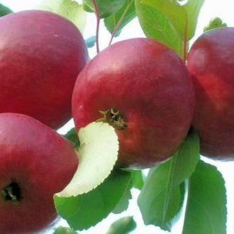 Яблоня колоновидная «Алые Паруса»