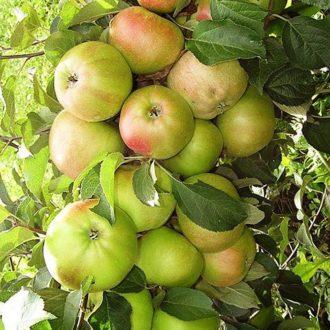 Яблоня колоновидная «Чебурашка»