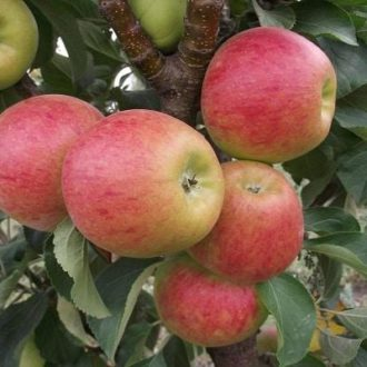 Яблоня колоновидная «Фаворит»