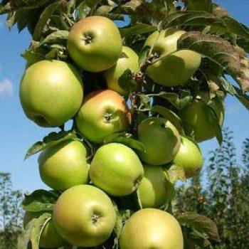 Яблоня колоновидная «Гирлянда»-2
