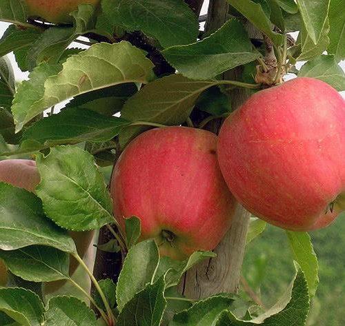 Яблоня колоновидная «Кумир»