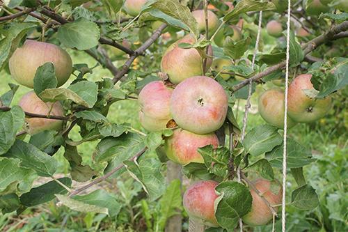 Яблоня колоновидная «Медуница»-1