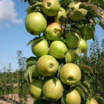Яблоня колоновидная «Приокское»-1
