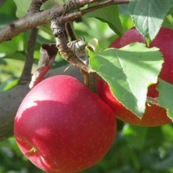 Яблоня Пепин шафранный-1