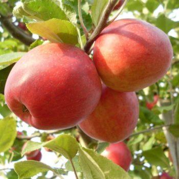 Яблоня Пепин шафранный-2