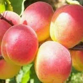 Персик Майский цветок-1