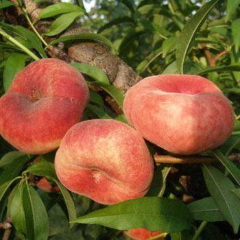 Персик Никитский плоский-2