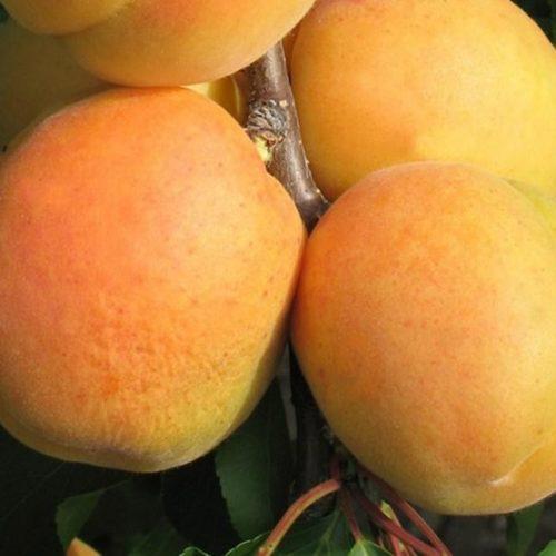 Персик Сибиряк