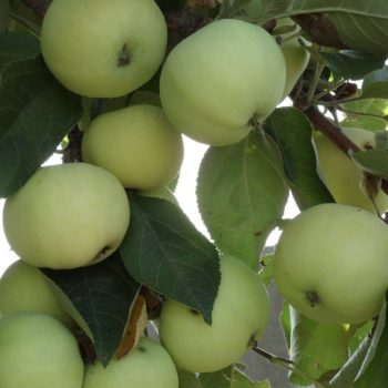 Яблоня Папировка-1