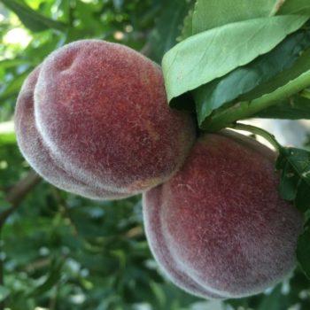 Персик Пушистый ранний-1