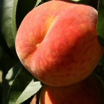 Персик Пушистый ранний-2