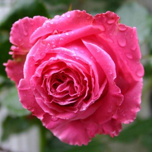 Роза английская «Август Ренуар»